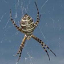 Banded Garden Spider - Female