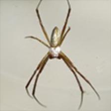 Banded Garden Spider - Male