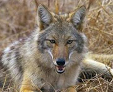 Coyote waiting