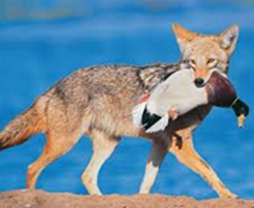 Coyote with Duck