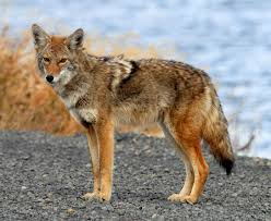 Coyote watching