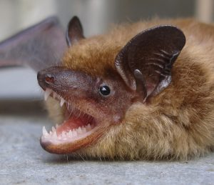 Bats | Central Termite and Pest in Arkansas