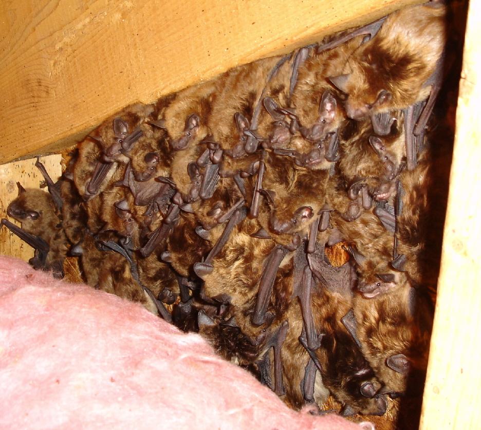 Bats in the attic