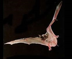 Brazilian Free-Tailed Bat