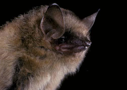 Townsend Big-Eared Bat