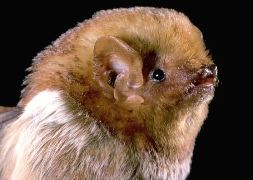 Eastern Red Bat