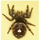 Bold Jumper Spider - Female