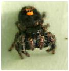 Bold Jumper Spider - Male