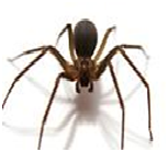 Brown Recluse - Female
