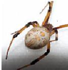 Brown Widow Spider - Female