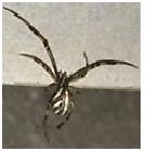 Brown Widow Spider - Male