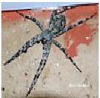 Carolina Wolf Spider - Female