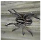 Carolina Wolf Spider - Male