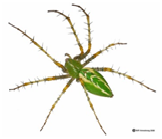 Green Lynx Spider - Male