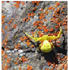 Goldenrod Crab Spider - Female