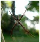 Black & Yellow Garden Spider - Male