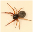 Broad-faced Sac Spider - Female