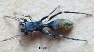 Ant Mimic Spider - Female