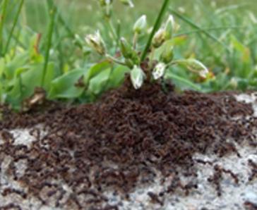 Pavement Ant