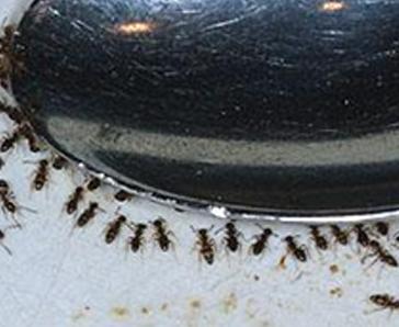 Order Ant