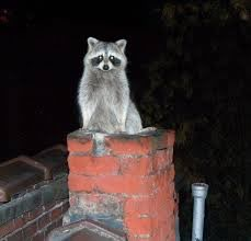 Chimney Raccoon