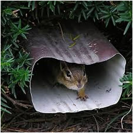 Chipmunk in downspout