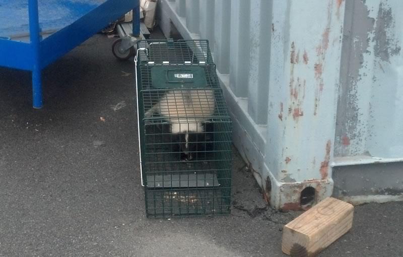 Skunk captured