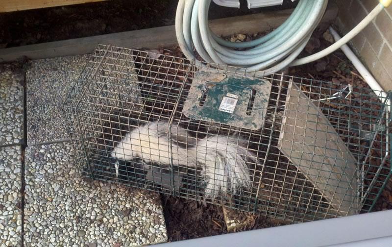 Skunk in a Live Trap