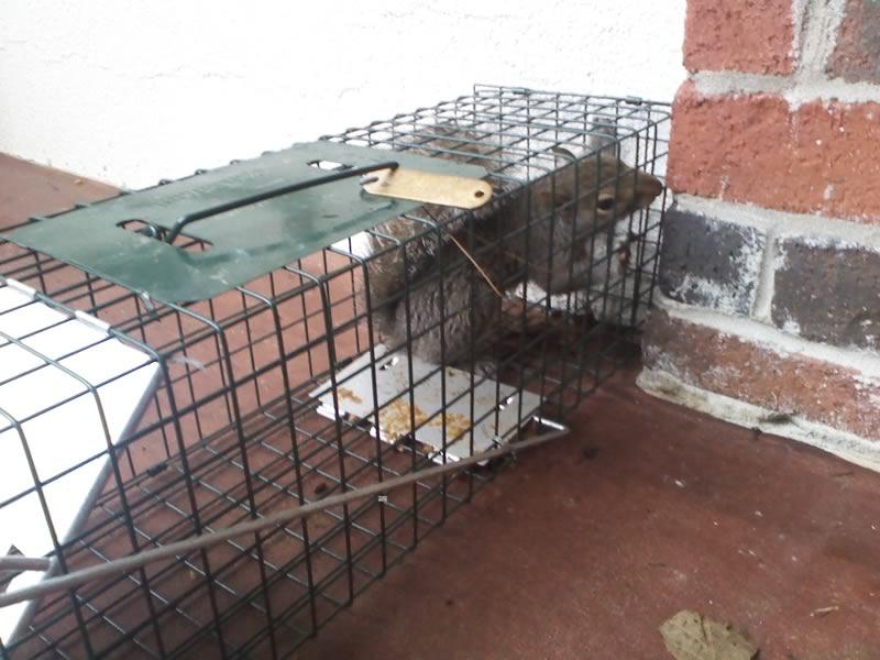 Squirrel Caught in Cage