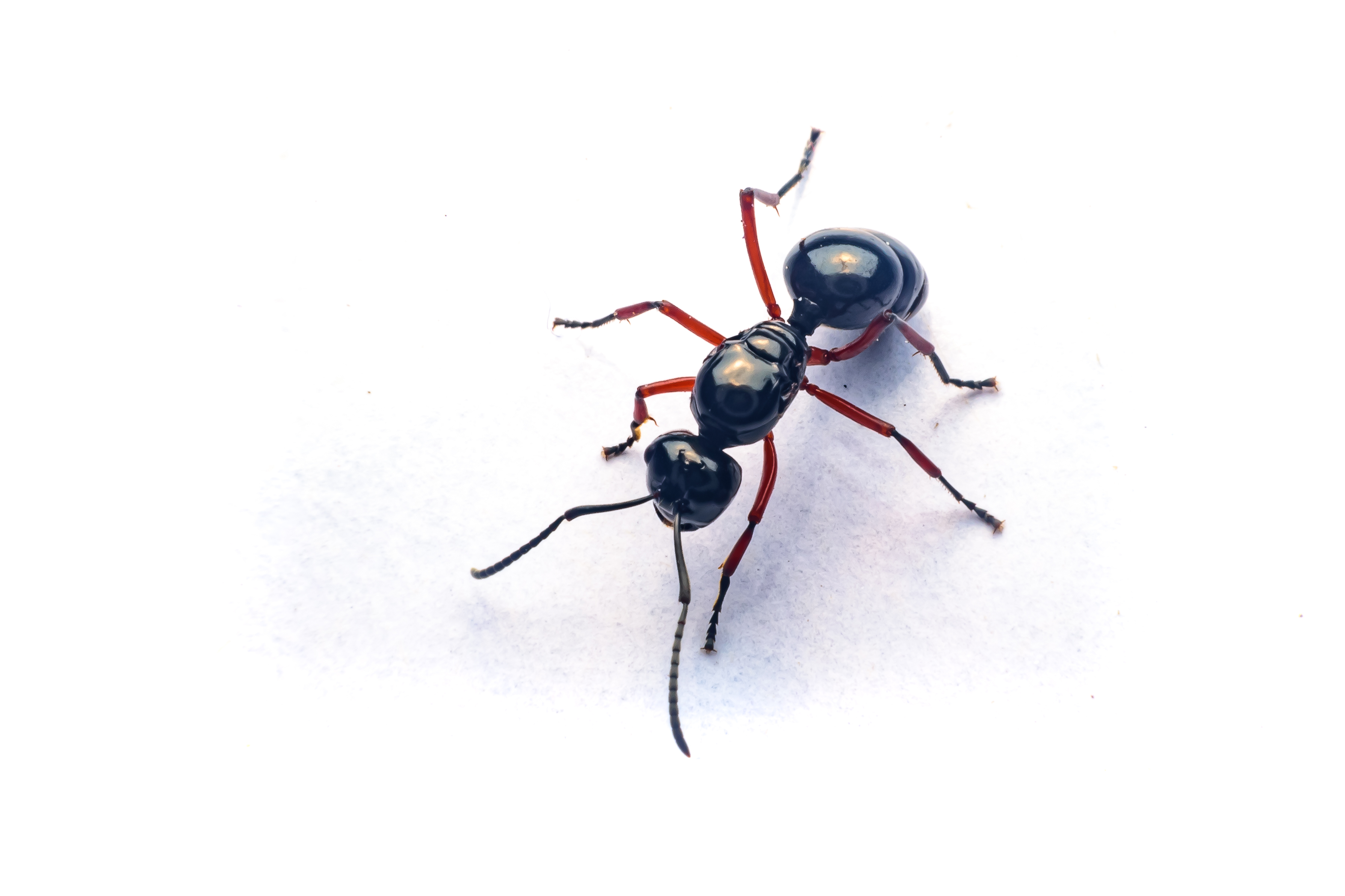 Ants | Central Termite and Pest in Arkansas